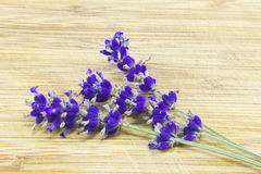 Lavender- Lavandula Royalty Free Stock Photo