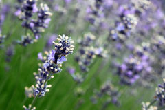 Lavender (Lavandula x intermedia). Close-up composition on a lavender flower inside a field of Dutch Lavender (Lavandula x intermedia). Lavender is an aromatic royalty free stock image