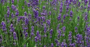 Lavender, lavandula sp. in Normandy stock video footage