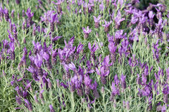 Lavender, Lavandula stoechas flowers background Stock Photo