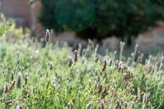 Lavender Lavandula. Lavender sunny day meadow sun spain royalty free stock photos
