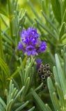 Lavender lavender πεδίων Lavender τομέας στον ήλιο Στοκ Εικόνα