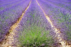 Lavender, Lavender Field Stock Photos
