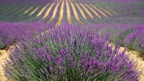 Lavender, Lavender Field Royalty Free Stock Photos