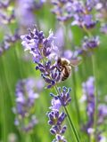 Lavender, Lavender Flowers, Bee Stock Photography