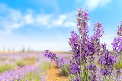 Lavender. Coloured flower purple isolated plant herbal medicine royalty free stock image