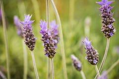 Lavender (Lavendula angustifolia) Royalty Free Stock Photo