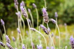 Lavender (Lavendula angustifolia) Stock Images