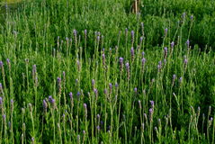Lavender leaves. Bunch of fresh lavenders of urban stock images