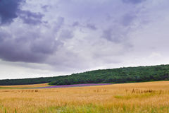 Lavender levels in wheat Stock Images