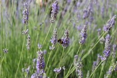 Lavender life. French happy bee Royalty Free Stock Photo