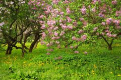Lavender lilac bushes blossoming in a park, curved trunks stock images