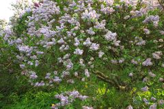 Lavender lilac bushes blossoming in a park, green grass stock images