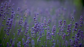 Lavender lilac flowers in a field, field lilac. Lavender lilac flowers in a field with the sun shining down (lavandula angustifolia Stock Images