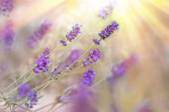 Lavender lit by sunbeams Stock Photos