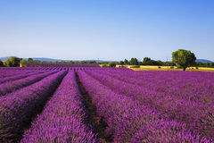 Lavender and lonely tree. Provence, France Stock Photo