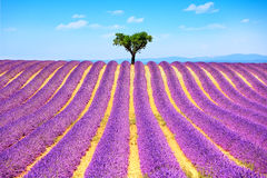 Lavender and lonely tree uphill. Provence, France. Lavender flowers blooming field and a lonely tree uphill. Valensole, Provence, France, Europe Stock Image
