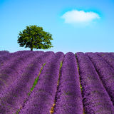 Lavender and lonely tree uphill. Provence, France Stock Photo