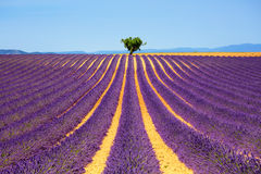 Lavender and lonely tree uphill. Provence, France Royalty Free Stock Photos