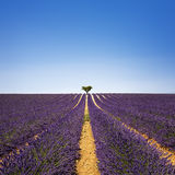Lavender and lonely tree uphill. Provence, France Royalty Free Stock Image
