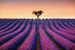 Lavender and lonely tree uphill on sunset. Provence, France. Lavender flowers blooming field and a lonely tree uphill on sunset. Valensole, Provence, France Royalty Free Stock Photography