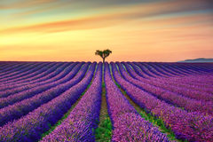 Lavender and lonely trees uphill on sunset. Provence, France Stock Photo