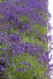 Lavender. A long border of Lavender flowers Stock Photography