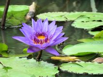 Lavender Lotus Stand-out royalty free stock photo