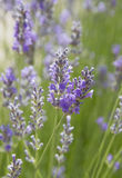 Lavender love. Summer. Royalty Free Stock Image
