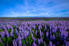 Lavender lupine field with blue skies Stock Image