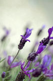 Lavender Macro Royalty Free Stock Images