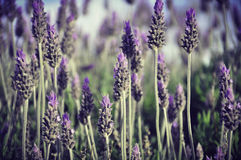 Lavender flowers  blooming  Stock Image