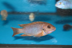 Lavender mbuna malawi cichlid aquarium fish Royalty Free Stock Photo