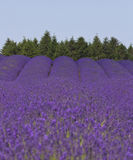 Lavender meadow Royalty Free Stock Photo