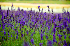 Lavender meadow in garden Stock Photo