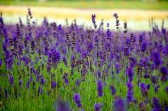 Lavender meadow in garden Stock Photo