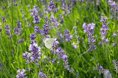 Lavender meadow white tiny butterfly. Lavender violet flowers on the meadow and white genuine butterfly on the lavender stock image