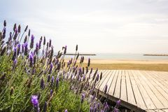 Lavender and Mediterranean sea. Lavender in the foreground and Mediterranean sea in the background Royalty Free Stock Photo