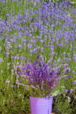 Lavender in a metal bucket Stock Images