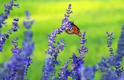 Lavender and monarch Stock Image