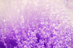 Lavender Mood Royalty Free Stock Images