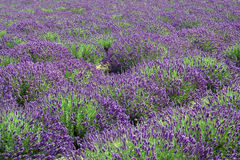 Lavender Mounds Royalty Free Stock Photography