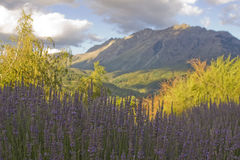 Lavender with mountain Royalty Free Stock Images