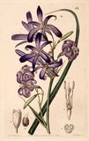 Lavender mountain lily, Lily-of-the-Altai (1844) Stock Images