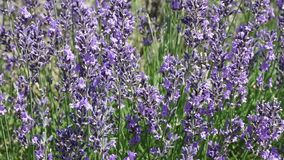 Lavender moving camera footage stock video footage