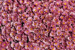 Lavender Mums Stock Photos