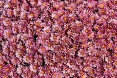 Lavender Mums Stock Photos