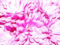 Lavender Mums Royalty Free Stock Photography
