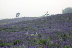 Lavender in Nanjing Stock Image