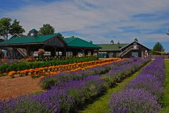Beautiful rows of Lavender plants in a farm with building and hut around. Lavender is native to the Old World and used for many purposes such as ornamental royalty free stock image